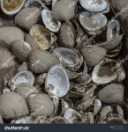 stock-photo-a-pile-of-clam-shells-1374579041.jpg